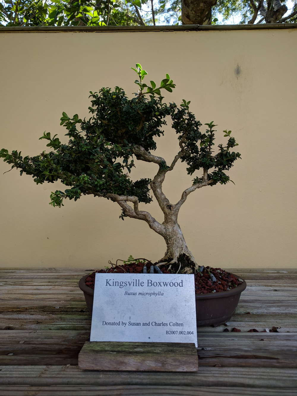 bonsai-resized